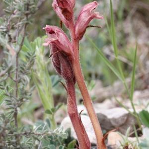 Photographie n°850235 du taxon Orobanche alba Stephan ex Willd.