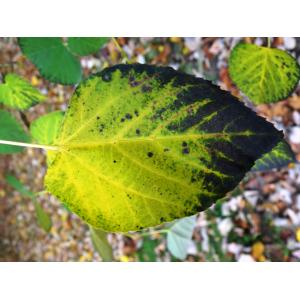 Tilia americana var. heterophylla (Vent.) Loudon
