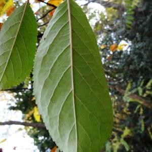 Photographie n°854714 du taxon Prunus avium (L.) L. [1755]