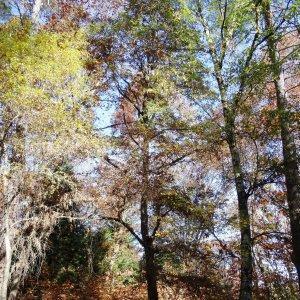 Photographie n°856066 du taxon Quercus robur L. [1753]