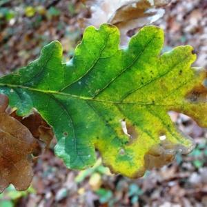 Photographie n°856068 du taxon Quercus robur L. [1753]