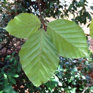 Photographie n°856111 du taxon Fagus sylvatica L.