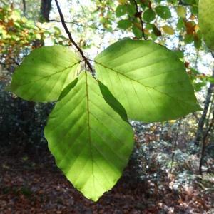 Photographie n°856112 du taxon Fagus sylvatica L.