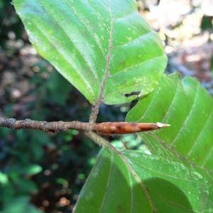 Photographie n°856114 du taxon Fagus sylvatica L.