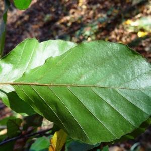 Photographie n°856186 du taxon Fagus sylvatica L.
