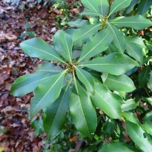 Photographie n°856236 du taxon Pieris japonica (Thunb.) D.Don ex G.Don