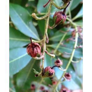 Pieris japonica (Thunb.) D.Don ex G.Don (Lavendelheide)