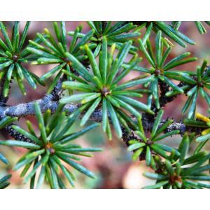 Cedrus brevifolia (Hook.f.) A.Henry (Cèdre de Chypre)