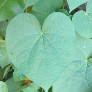 Photographie n°859443 du taxon Ipomoea purpurea (L.) Roth [1787]