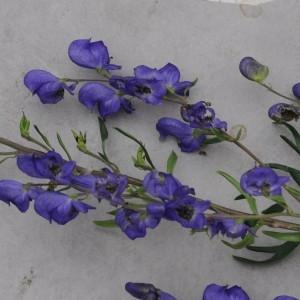 Photographie n°860317 du taxon Aconitum napellus L. [1753]