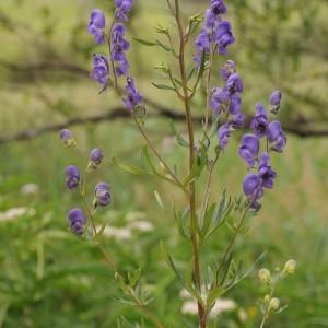 - Aconitum napellus L. [1753]