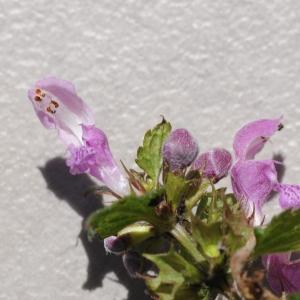 Photographie n°860405 du taxon Lamium maculatum (L.) L. [1763]