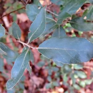 Photographie n°860743 du taxon Quercus suber L. [1753]