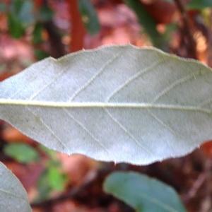 Photographie n°860753 du taxon Quercus suber L. [1753]