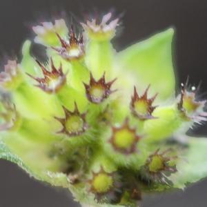 Photographie n°865808 du taxon Knautia dipsacifolia (Host) Kreutzer [1840]