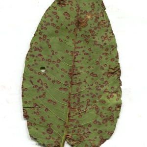 Photographie n°868875 du taxon Rumex obtusifolius L. [1753]