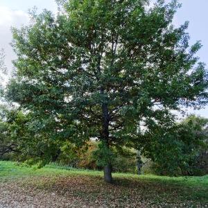 Photographie n°872376 du taxon Quercus petraea subsp. petraea