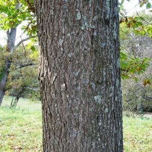 Photographie n°872379 du taxon Quercus petraea subsp. petraea