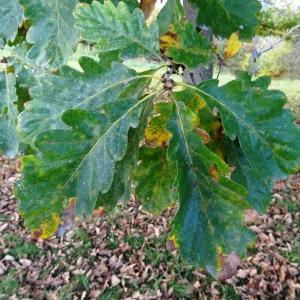 Photographie n°872381 du taxon Quercus petraea subsp. petraea