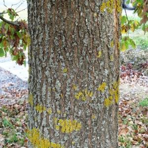 Photographie n°872428 du taxon Quercus petraea subsp. petraea