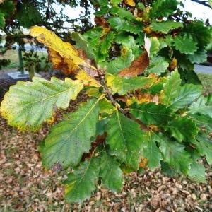 Photographie n°872436 du taxon Quercus petraea subsp. petraea