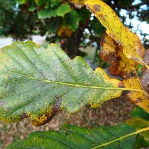 Photographie n°872440 du taxon Quercus petraea subsp. petraea