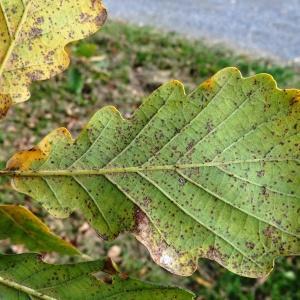 Photographie n°872445 du taxon Quercus petraea subsp. petraea