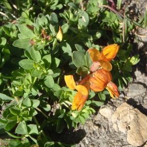 Photographie n°876381 du taxon Lotus corniculatus subsp. alpinus (DC.) Rothm.