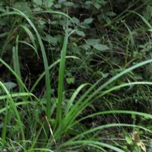 Photographie n°876834 du taxon Carex pendula Huds.