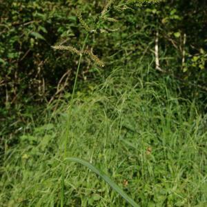 Photographie n°877585 du taxon Echinochloa crus-galli (L.) P.Beauv.