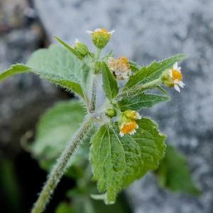 Photographie n°878593 du taxon Galinsoga cilié