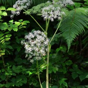 Photographie n°878779 du taxon Angelica sylvestris L. [1753]