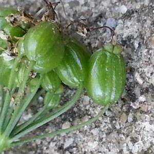 Photographie n°879058 du taxon Pimpinella major (L.) Huds. [1762]