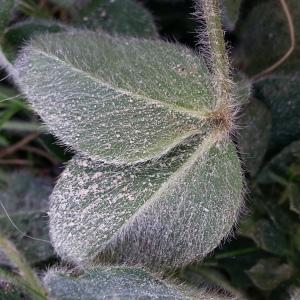 Photographie n°879120 du taxon Trifolium pratense var. maritimum Zabel [1859]