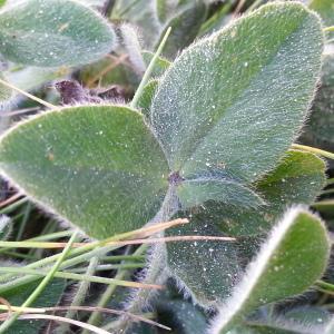 - Trifolium pratense var. maritimum Zabel [1859]
