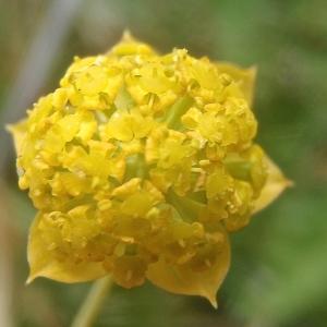 Photographie n°879514 du taxon Bupleurum ranunculoides subsp. ranunculoides