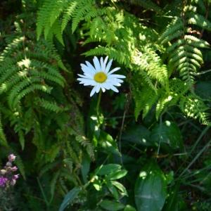 Photographie n°880909 du taxon Leucanthemum vulgare Lam. [1779]