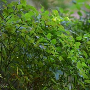 Photographie n°880923 du taxon Vaccinium myrtillus L.