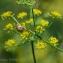 ambre Verdon - Anethum graveolens L.