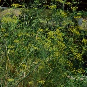 Photographie n°880989 du taxon Anethum graveolens L.