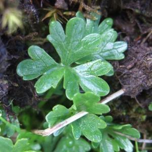 Photographie n°882439 du taxon Ranunculus alpestris L. [1753]