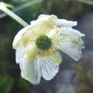 - Ranunculus alpestris