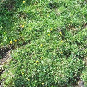 Photographie n°882458 du taxon Ranunculus montanus Willd. [1799]