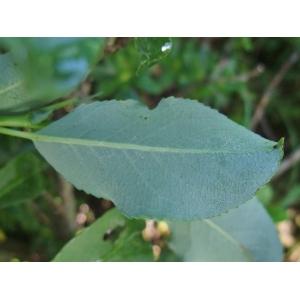 Salix myrsinifolia Salisb. subsp. myrsinifolia (Saule noircissant)