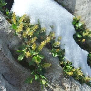 Photographie n°882522 du taxon Salix retusa
