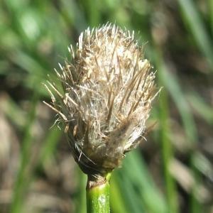 Photographie n°882645 du taxon Eriophorum scheuchzeri