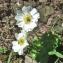 Yoan Martin - Ranunculus alpestris