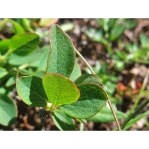 Vaccinium uliginosum subsp. microphyllum (Lange) Tolm. (Airelle à petites feuilles)