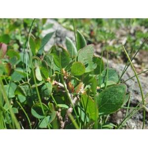 Vaccinium uliginosum subsp. microphyllum (Lange) Tolm. [1936] (Airelle à petites feuilles)