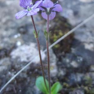 Photographie n°882740 du taxon Veronica aphylla L. [1753]